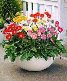 Gerbera Garvinea Series … More Mais Container Flowers, Flower Planters, Container Plants, Container Gardening, Flower Pots, Succulent Containers, Vegetable Gardening, Fall Planters, Exotic Flowers