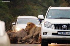 entre carros, leões machos matam um cudu (10)