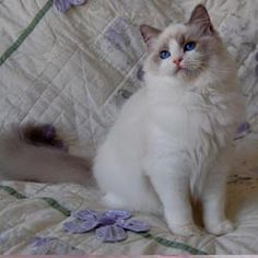 Blue Bicolor Ragdoll | BACK to Colors & Patterns Page