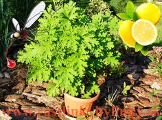 Muškát citrónový – proti komárom, ( Pelargonium crispum 'Lemon' L., Pelargonium citrosum L. 'Mosquito fighter', ) 3,50 € / rastlinka :: RASTLINKY BYLINKY