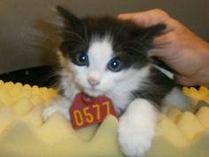 Gaston County NC: Available Pets in Animal Control, Dallas, NC 2577 PAST DUE 6-10 stray found running around AC's yard. thin and a bit shy at intake. Year  2013 Tag# 2577 Type  KITTEN Sex  FEMALE Breed DOMESTIC MEDIUM HAIRColorBLACK WHITE Cage #A2Age 10-12wksAdopt/Rescue/ Euthanasia Date06/10/2013 ADOPTABLEAdmitted Date06/04/2013 Area Pickup: LEASURE LN, DALLAS Remarks: Shy
