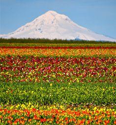 Mt. Hood, Wooden Shoe Tulips, Woodburn, OR.