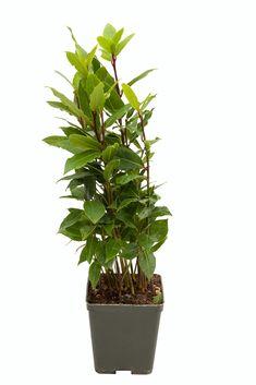 Liečba z kvetináča. Bylinky proti nespavosti a bolesti kĺbov Gardening, Plants, Lawn And Garden, Plant, Planets, Horticulture