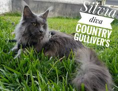 Silvia diva bleu solide. Maine Coon, Diva, Animals, Cat Breeds, Blue, Animales, Animaux, Divas, Animal