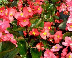 10+1balkonnövény félárnyékos helyre | Balkonada