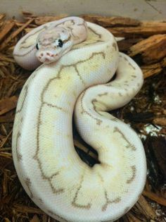 Killer King Spin Ball Python by BHB Reptiles he looks into my soul… Python Royal, Cute Reptiles, Reptiles And Amphibians, Burmese Python, Cool Snakes, Ball Python Morphs, Cute Snake, Python Snake, Beautiful Snakes