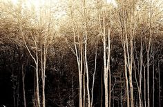 Photo spooky forest black white and brown by RiskLoveFreedom, $30.00
