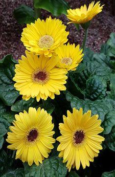 Beautiful Flowers Garden, Amazing Flowers, Yellow Flowers, Colorful Flowers, Glowing Flowers, Good Morning Cards, Gerber Daisies, Paper Flowers Diy, Ikebana
