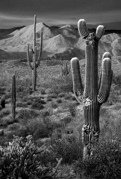 Saguaro Cactus in Black and White at Sunset, by Dave Dilli