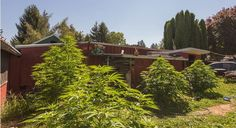 Marijuana Plants Are Major Real Estate Selling Point In Recreational States   This real estate agent discovered wacky tobacky growing in the backyard of a recent listing.