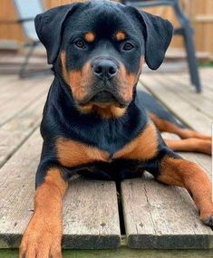 14 Amazing Facts About Rottweilers You Probably Never Knew Rottweiler Dog For Sale, Rottweiler Breed, Rottweiler Facts, Pet Dogs, Dogs And Puppies, Pets, Doggies, Funny Puppies, Funny Dogs