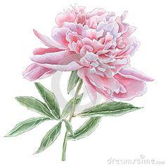 Gorgeous pink peony.