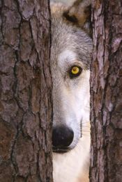 St. Francis Wolf Sanctuary, Montgomery TX - a safe haven for wolfs and wolf mixes