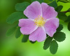 Wild Prairie Rose - Iowa's state flower.   I love how the petals are heart shaped.