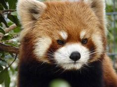 Awww he looks so madddd Super Cute Animals, Cute Baby Animals, Funny Animals, Cute Animal Photos, Animal Pictures, Cubs Pictures, Panda Art, Panda Love, Cute Hamsters