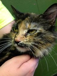 Daphne is an adoptable Domestic Long Hair Cat in Prattville, AL.  Daphne is a 1-year old Tortoiseshell long haired cat. She is mostly black and brown, and has cute freckles on her face. Since she has...