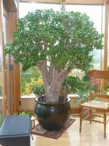 best jade plants - Yahoo Image Search Results