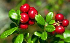 Вырастить бруснику легко! Северная ягода становится популярной у садоводов