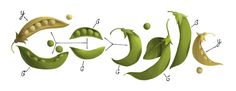 Gregor Mendel's 189th Birthday Google Doodle. Mendel's pea plant experiments conducted between 1856 and 1863 established many of the rules of heredity. Now referred to as the laws of Mendelian inheritance, it laid a foundation for modern genetics.