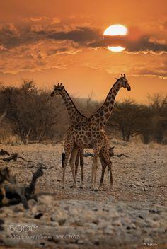 giraffes in the sunset by MassimoRavara #animals #animal #pet #pets #animales #animallovers #photooftheday #amazing #picoftheday