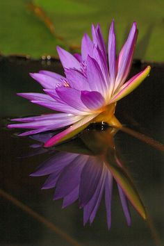 Waterlily - Nymphaea