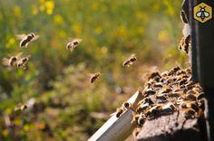 Wiosenny oblot pszczół