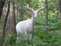 Learn abou the Mysterious Albino Deer Herd of Boulder Junction in this article from Outdoor Life. Deer Camp, Deer Hunting, Hunting Stuff, Hunting Tips, Archery Hunting, Albino Deer, Animals Beautiful, Cute Animals, Funny Animals