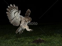 tawny owl catching prey - Google Search