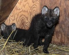 twin Maned Wolf cubs at Smithsonian Institute
