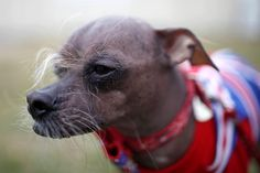 Past pooches from the World's Ugliest Dog competition