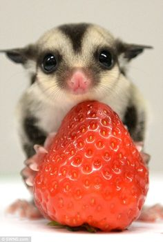 No wonder they're called sugar gliders! Tiny animals related to KANGAROOS are incredibly sweet and so small they fit in the palm of your hand
