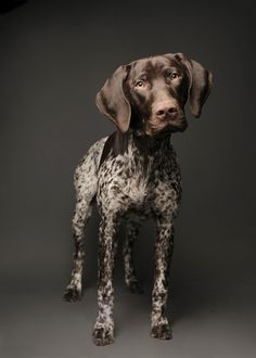 German Shorthaired Pointer- I love pointers! They are vastly underrepresented on the board. Nice picture, but not as handsome as my German Shorthair, Woody. German Shorthaired Pointer, Baby Dogs, Dogs And Puppies, Corgi Puppies, I Love Dogs, Cute Dogs, Animals Beautiful, Cute Animals, Short Haired Pointer