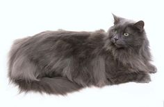 The Norwegian Forest Cat has an insulated, waterproof double coat that was designed to withstand the Scandinavian winters of its origin. The texture of this coat also matches that environment – longer, coarse guard hairs over a dense undercoat. A full frontal ruff, bushy tail, rear britches, and tufted paws help to equip this feline for life in a region that borders the Arctic.