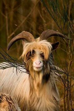 The rare wild bilberry goat