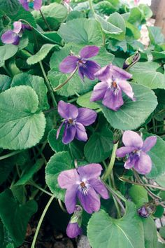 sweet violet Princesse De Galles FULL SUN, PART SHADE weed suppressing ground cover.