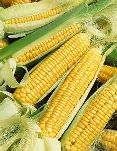golden bantam sweet corn - Yahoo Image Search Results