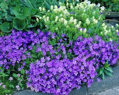 Campanula portenschlagiana is a great choice for rock gardens. So are rocks.