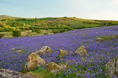 Masses of bluebells on Dartmoor, near Hound Tor. Photo: Nigel Rossiter