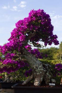 Bougainvillea North Fort Myers open house features Japanese art of bonsai