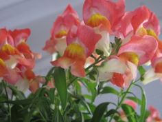 snapdragons... I have to go get some for this year!