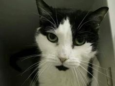 What a beautiful cat.Bella will be killed today at ACC shelter in New York City URGENT visit pets on death row on Facebook. They can transport to other locations if someone can adopt or foster.