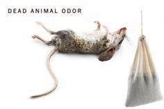 Smelleze® Dead Animal Smell Remover rids dead rat smell, dead mouse smell, dead rodent smell & other dead animal odor. It's reusable & lasts for years. Dead Mouse Smell, Killing Mice, Walling Dead, Dead Squirrel, Getting Rid Of Rats, Deodorize House, Pee Smell, Odor Remover, Odor Eliminator