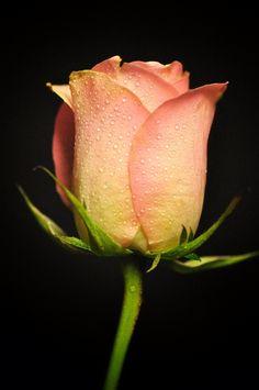 Rose by Saja AlMasaad on 500px