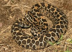 Mexican Lance-head Rattlesnake (Crotalus polystictus) | Flickr Reptiles Names, Reptiles And Amphibians, Chameleons, Lizards, Chameleon Lizard, Cute Snake, Beautiful Snakes, Creepy Things, Viper