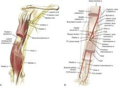 The musculocutaneous nerves comes from the lateral cord of the brachial plexus…