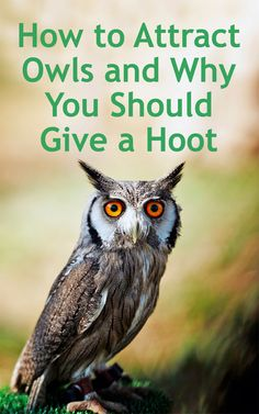 Add to Favorites Learning how to attract owls to your homestead has many rewards including acting as a natural way to get rid of mice. The joy of spotting the magical … Owl Nest Box, Owl Box, Getting Rid Of Mice, Screech Owl, Owl House, Farm House, How To Attract Birds, Nesting Boxes, Backyard Birds