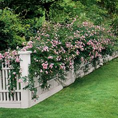 Easy-Growing Flowers for Fences ~ Climbing roses such as 'The Fairy' are matches made in heaven, but don't overlook other worthy candidates such as 'Amethyst Falls' American wisterias, bougainvilleas, Carolina jessamines, clematis, Confederate jasmines, crossvines, cypress vines, hyacinth beans, mandevillas, morning glories, passion vines, and trumpet honeysuckles.
