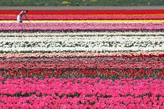 25 Amazing Pictures Of Dutch Flower Fields