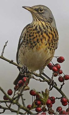 jpg These have started to arrive for the Autumn/Winter, look out for them feeding on Rowan Berries Pretty Birds, Love Birds, Beautiful Birds, British Wildlife, Wildlife Art, Bird Identification, Migratory Birds, Bird Drawings, Bird Pictures