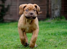 Dogue De Bordeaux Puppy
